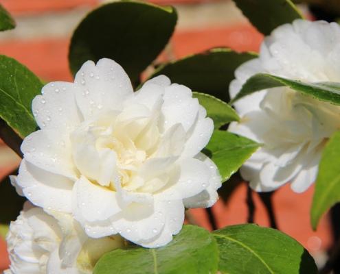 Kamelienblüte Gracia